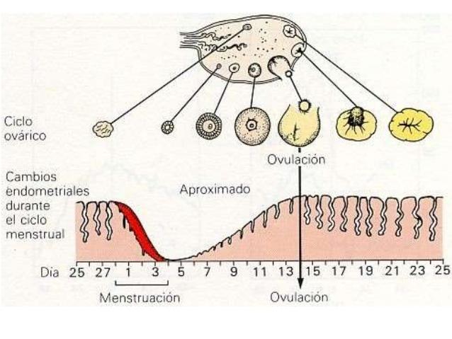 ciclo-ovarico-8-638